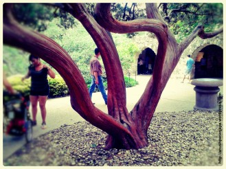 The tree preserving the history of the Alamo