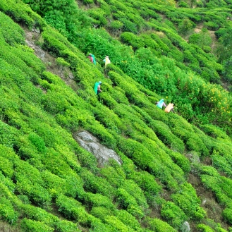 Tea pickers in steep mountains