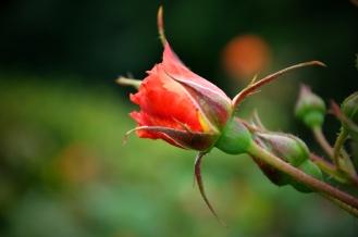 rose-bud
